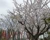 また来年も桜が咲く頃にお会いしましょう。